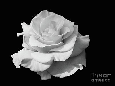 Photograph - Rose Unfurled In Black And White by Cindy Manero