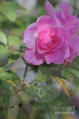 Photograph - Rose V2 by Donna L Munro