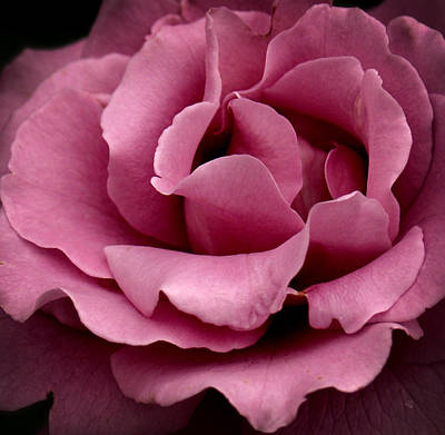 Rose Violet Waves Art Print by Barbara Middleton