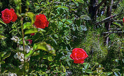 Photograph - Rose White Rose Red by Nancy Marie Ricketts