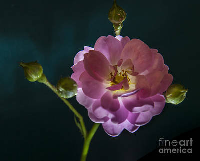 Rose With Buds Print by Larry Braun