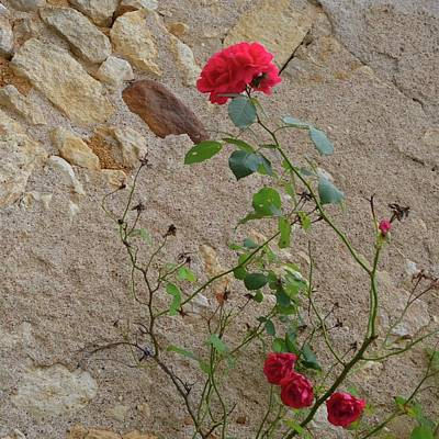 Photograph - Rose With Castle Wall by Cheryl Miller