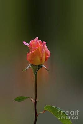 Photograph - Rose Without A Name by Elaine Teague
