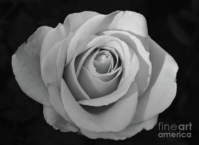 Photograph - Rose Without Color by Cindy Manero