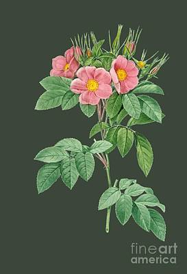 Rosaceae Painting - Rose25 by The one eyed Raven