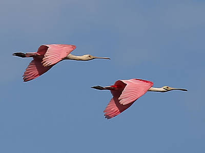 Photograph - Roseate Spoonbills by Dart and Suze Humeston