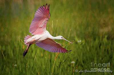 Photograph - Roseata Spoonbill by Les Greenwood