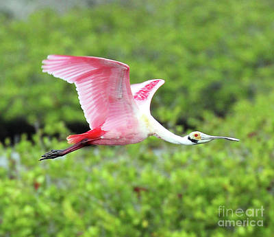 Roseate Spoonbill Photograph - Roseate In Flight by Jennifer Robin