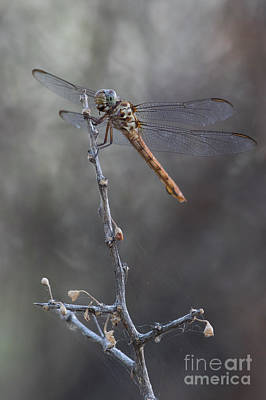 Photograph - Roseate Skimmer by Bryan Keil