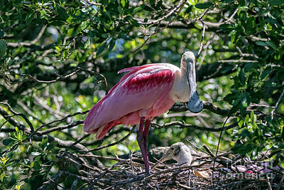 Photograph - Roseate Spoonbill And Chick by Bill And Deb Hayes