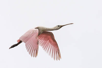 Photograph - Roseate Spoonbill by Bill Martin
