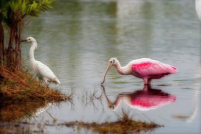 Photograph - Roseate Spoonbill Eating In Southern Florida by Dan Friend