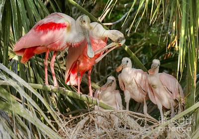 Photograph - Roseate Spoonbill Family In The Nest by Myrna Bradshaw