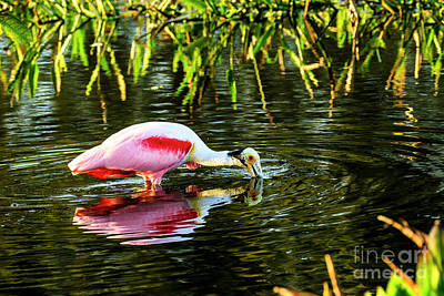 Photograph - Roseate Spoonbill Feeding by Ben Graham