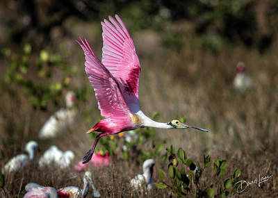 Photograph - Roseate Spoonbill Flying by David A Lane