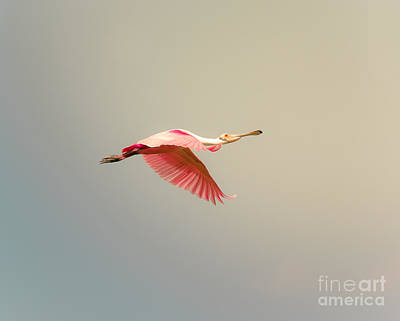 Photograph - Roseate Spoonbill Flying by Robert Frederick