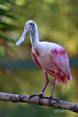 Photograph - Roseate Spoonbill by George Atsametakis