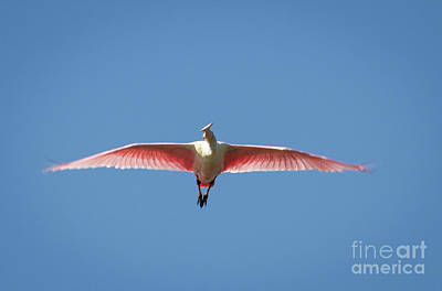 Photograph - Roseate Spoonbill In Flight by David Cutts
