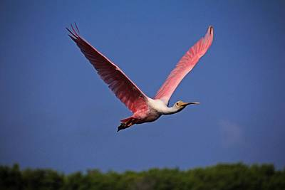 Photograph - Roseate Spoonbill In Flight I by Michiale Schneider