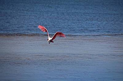 Photograph - Roseate Spoonbill In Flight Iv by Michiale Schneider