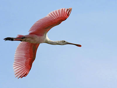 Photograph - Roseate Spoonbill In Flight by Mercedes Martishius
