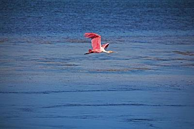 Photograph - Roseate Spoonbill In Flight V by Michiale Schneider