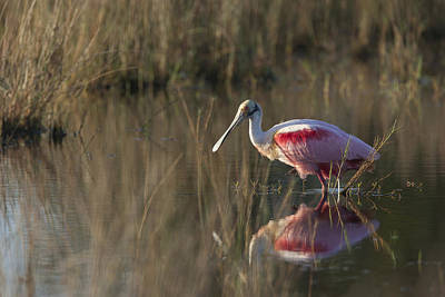Roseate Spoonbill In Morning Light Art Print