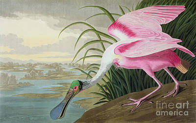 Cloudy Painting - Roseate Spoonbill by John James Audubon