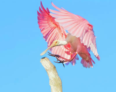 Photograph - Roseate Spoonbill Landing by Mark Andrew Thomas