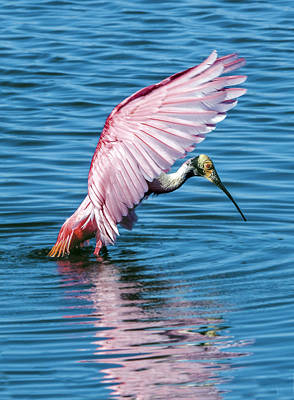 Photograph - Roseate Spoonbill Landing by William Bitman