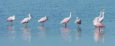 Photograph - Roseate Spoonbill Line-up by Dawn Currie