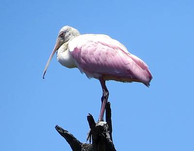 Photograph - Roseate Spoonbill On Perch by Ellen Meakin