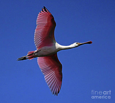 Photograph - Roseate Spoonbill On The Wing by Larry Nieland