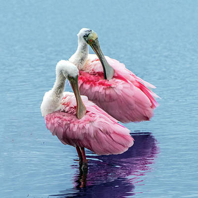 Photograph - Roseate Spoonbill Pair by William Bitman
