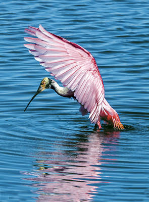 Photograph - Roseate Spoonbill Profile by William Bitman
