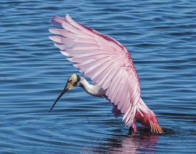 Roseate Spoonbill Profile With Wings Over Her Head Art Print