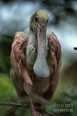 Photograph - Roseate Spoonbill  by Randy Matthews