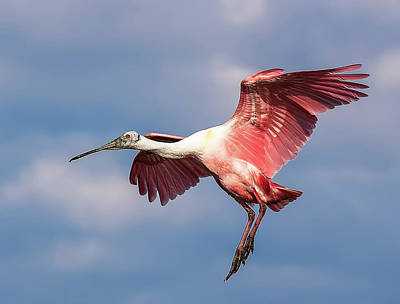 Photograph - Roseate Spoonbill 2 by Richard Goldman