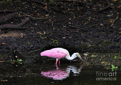 Photograph - Roseate Spoonbill, Sawgrass Lake Park, St. Petersburg, Fl  -71681 by John Bald