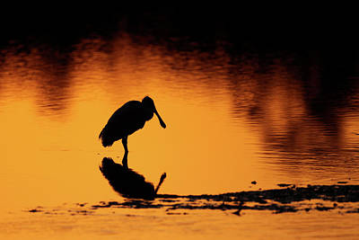 Roseate Spoonbill Silhouette Art Print by Brian Magnier