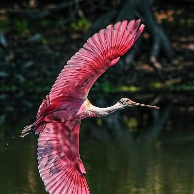 Photograph - Roseate Spoonbill by Steven Sparks