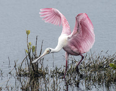 Photograph - Roseate Spoonbill Wings Up by William Bitman