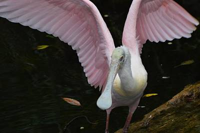 Photograph - Roseate Spoonbill Wingspan by Warren Thompson