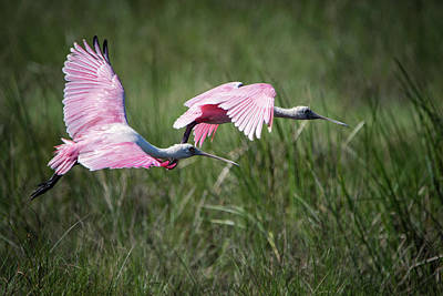 Photograph - Roseate Spoonbills by Linda Shannon Morgan