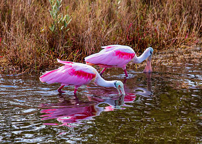 Photograph - Roseate Spoonbills Swishing For Food by John M Bailey