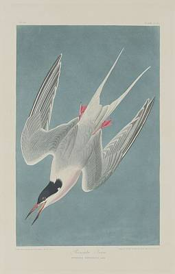 Tern Drawing - Roseate Tern by Dreyer Wildlife Print Collections