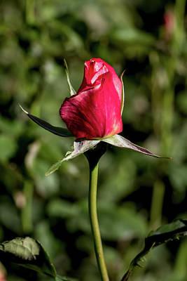 Photograph - Rosebud by John Haldane