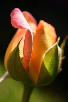 Rosebud Art Print by PIXELS  XPOSED Ralph A Ledergerber Photography