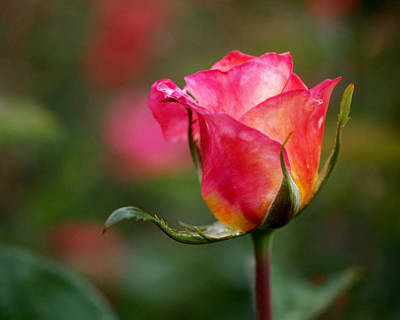 Gardens Photograph - Rosebud by Rona Black