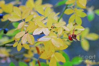 Photograph - Rosehip by Donna L Munro